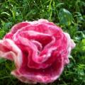 Sekme - rožė nuostabioji